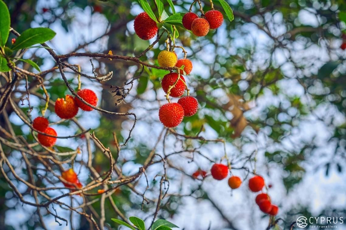Земляничное дерево как вырастить. земляничное дерево: посадка, выращивание, уход