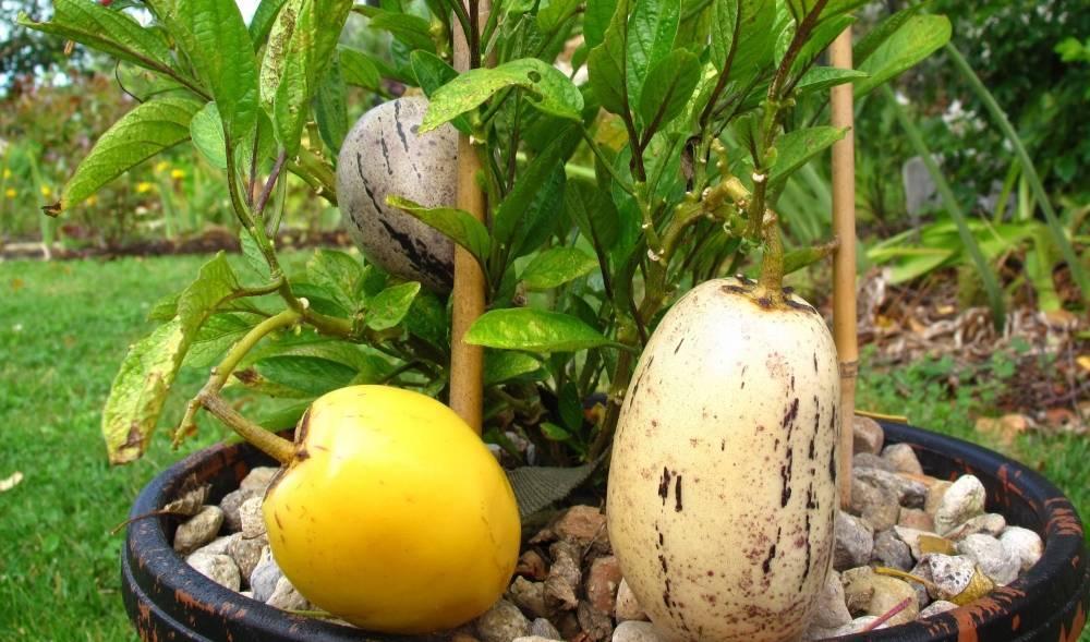 Выращивание пепино на подоконнике или балконе: особенности ухода за дынной грушей