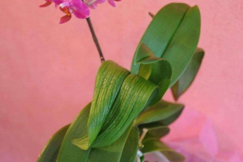 Вянут листья фаленопсиса
