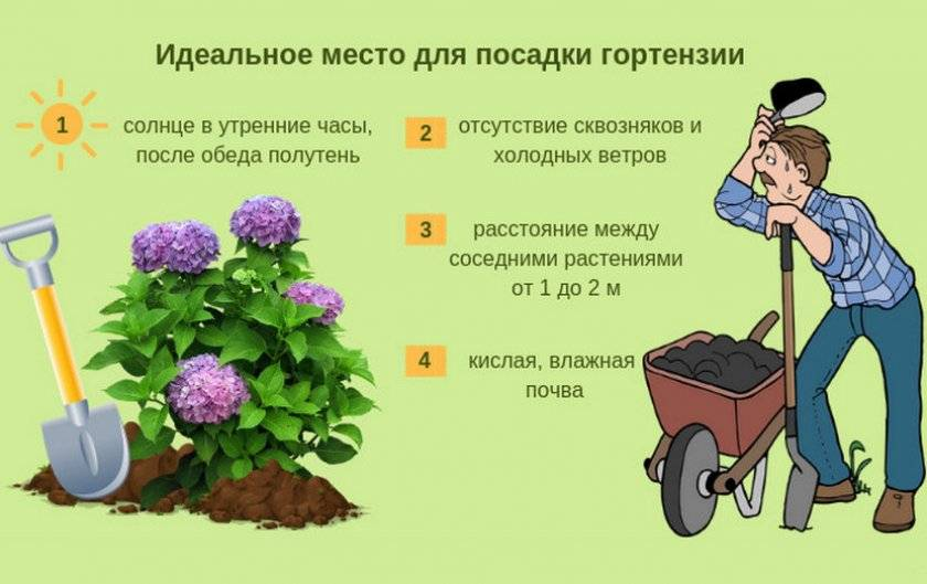 Гортензия древовидная вянут листья. что делать если у гортензии сохнут и опадают листья