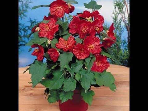 Домашний клен абутилон — комнатный цветок