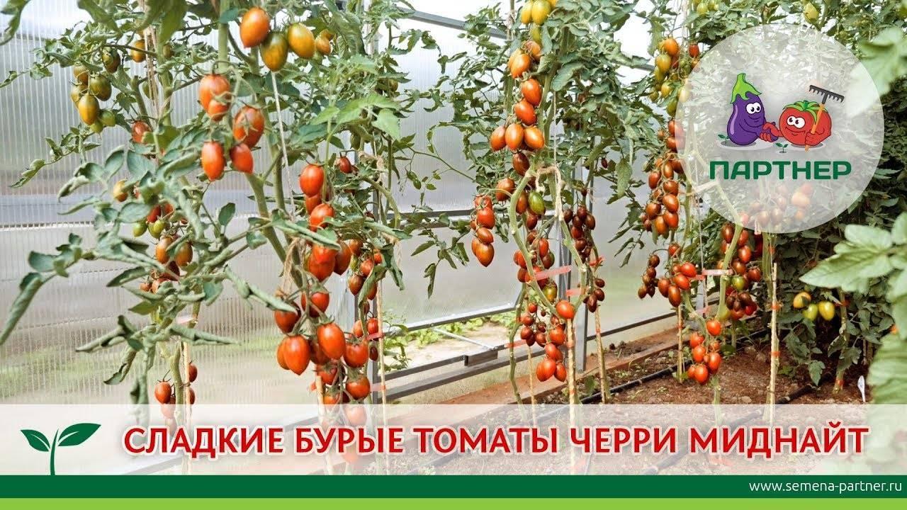 Помидоры черри – выращивание мелкоплодных томатов