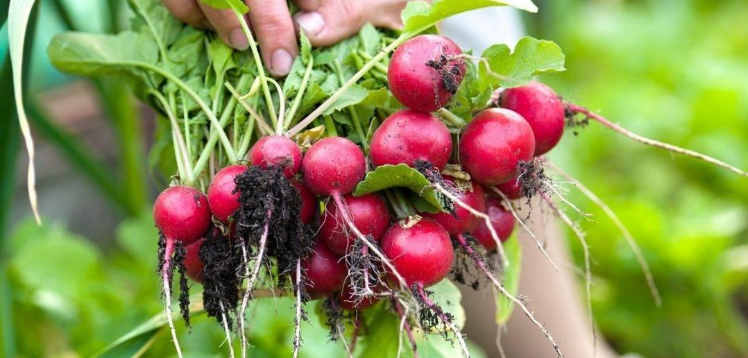 Правила выращивания моркови на даче — сроки посадки, уход, видео