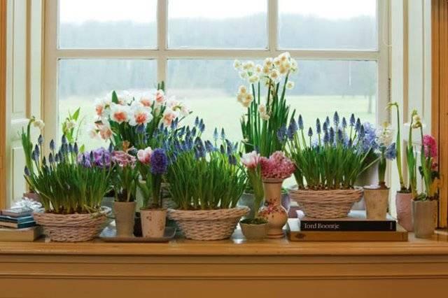 Тюльпаны на выгонку к 8 марта в домашних условиях когда сажать
