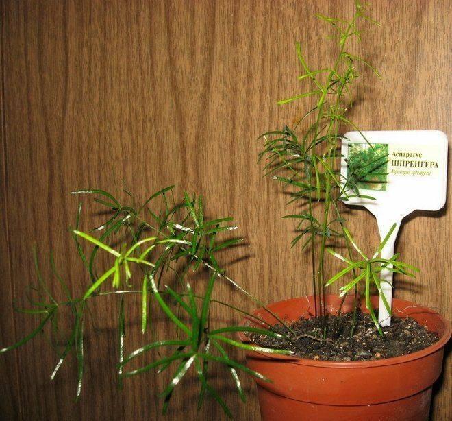 Как вырастить с нуля аспарагус – уход при размножении корневищами, черенками и семенами