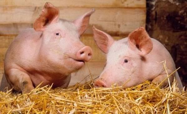 Основные правила свиноводства для начинающих