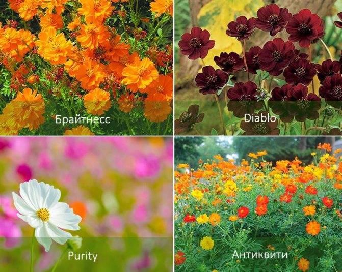 Космея: выращивание,описание,фото,видео,размножение,содержание
