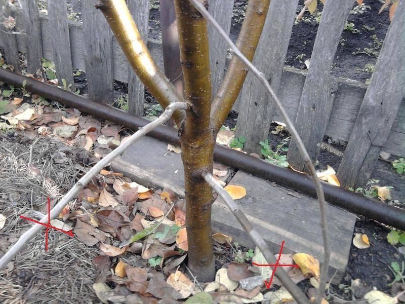 Практические рекомендации, как вырастить саженцы яблони