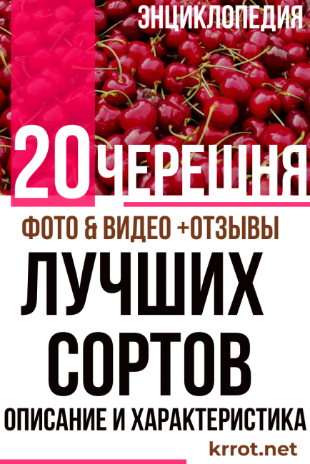 Черешня бычье сердце — урожайный сорт с очень крупными ягодами весом до 15 г