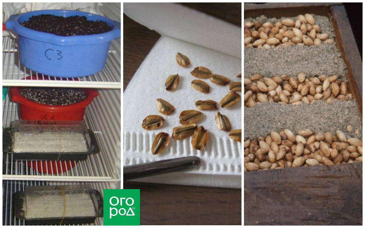 Стратификация семян, что это такое, как проводить, сроки, видео