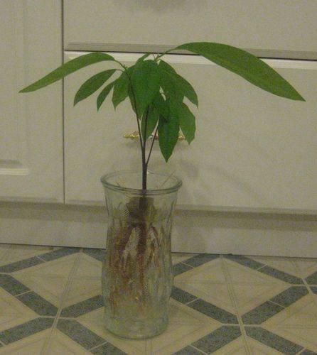 Уход за деревцем авокадо в домашних условиях
