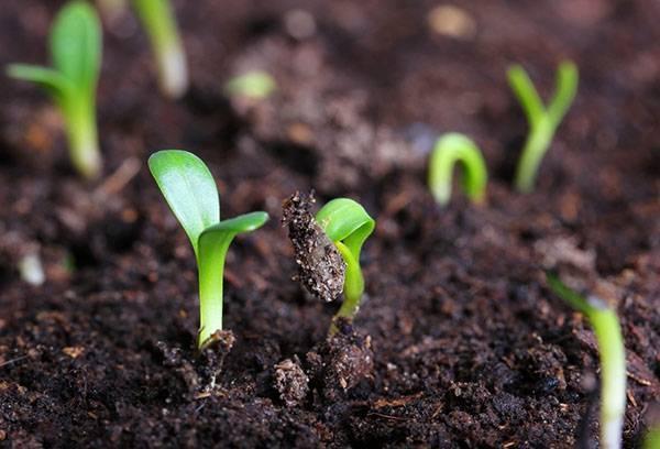 Выращивание щавеля в открытом грунте