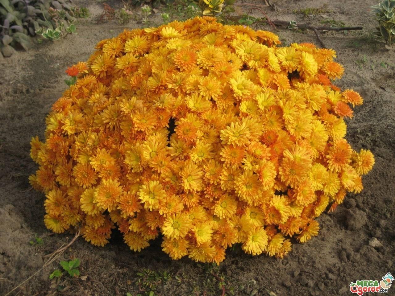 Шаровидные хризантемы:  уход описание размножение фото видео выращивание