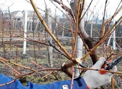 Весна — лучшее время для прививки яблонь