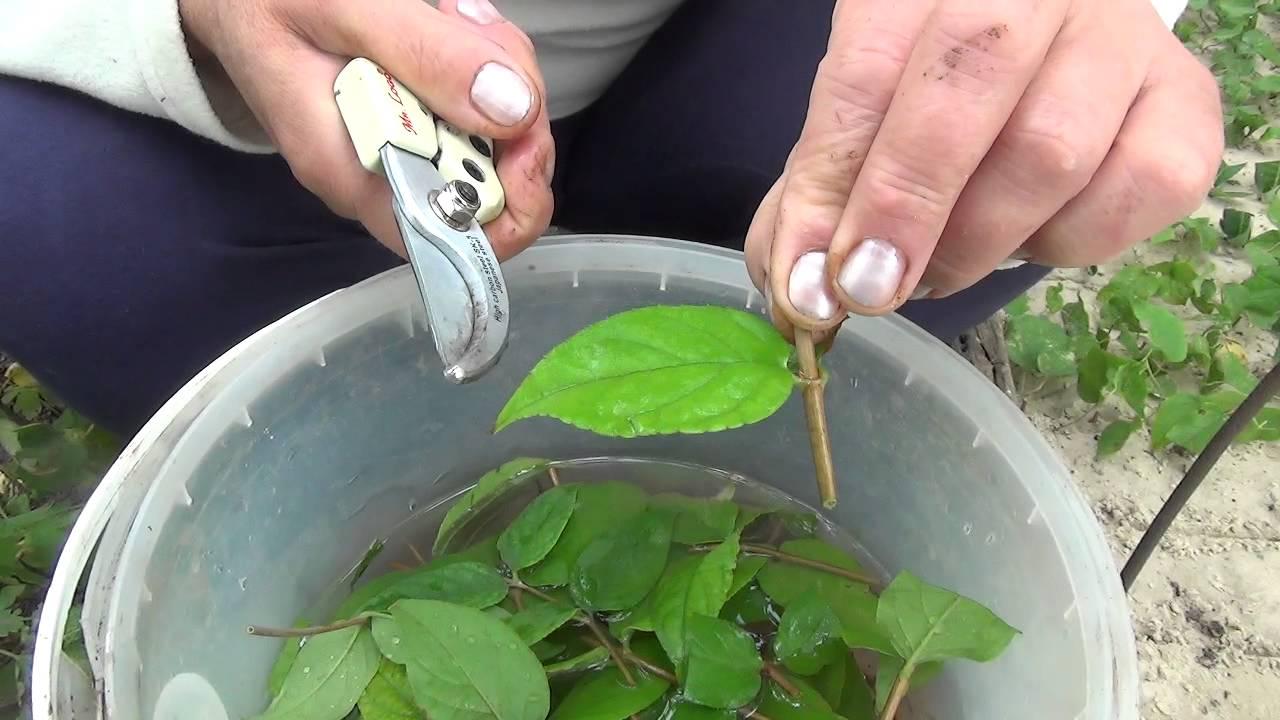Размножение магнолии черенками и семенами в домашних условиях, видео