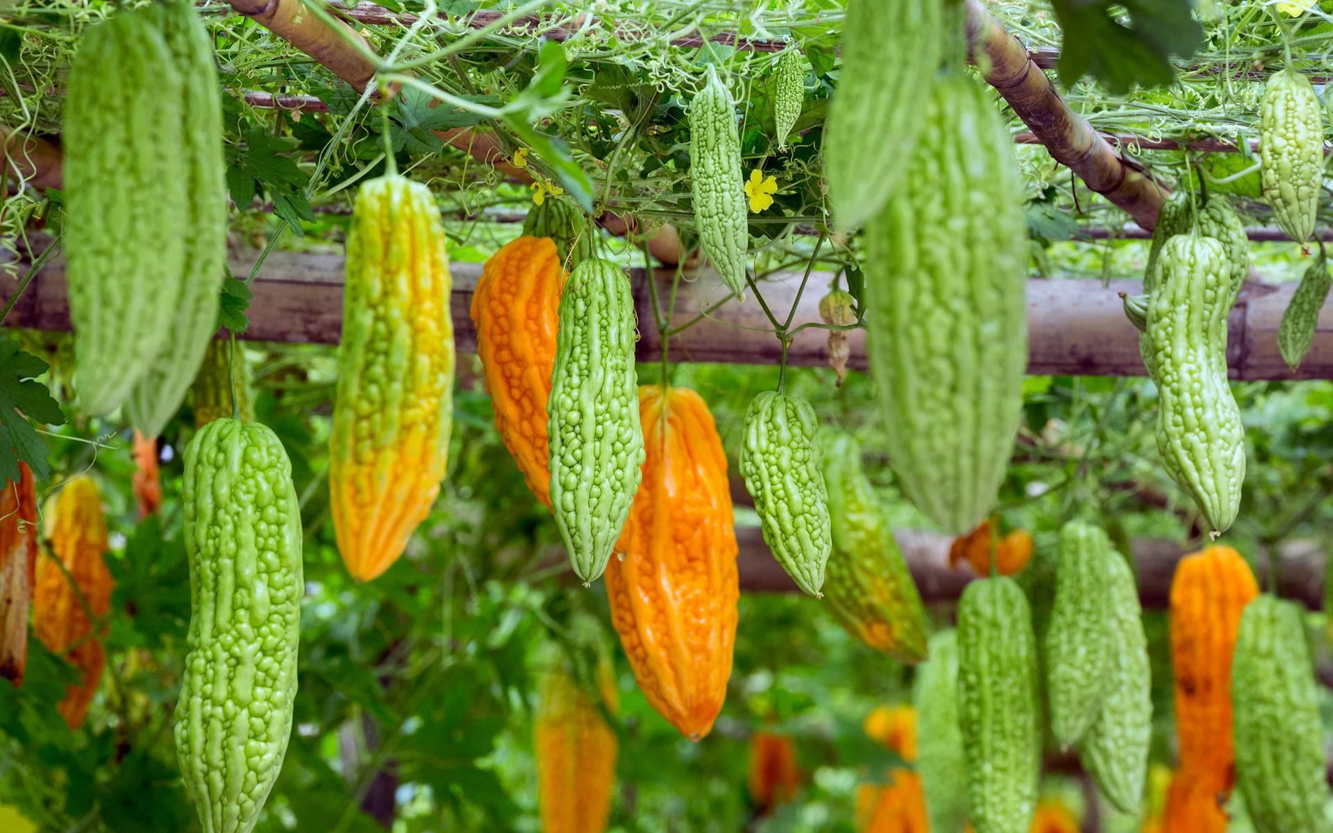 Момордика: выращивание и уход
