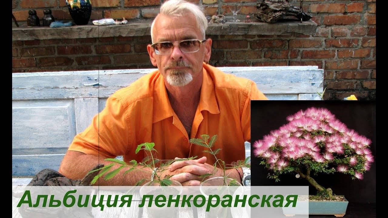 Акация ленкоранская: выращивание из семян и правила по уходу