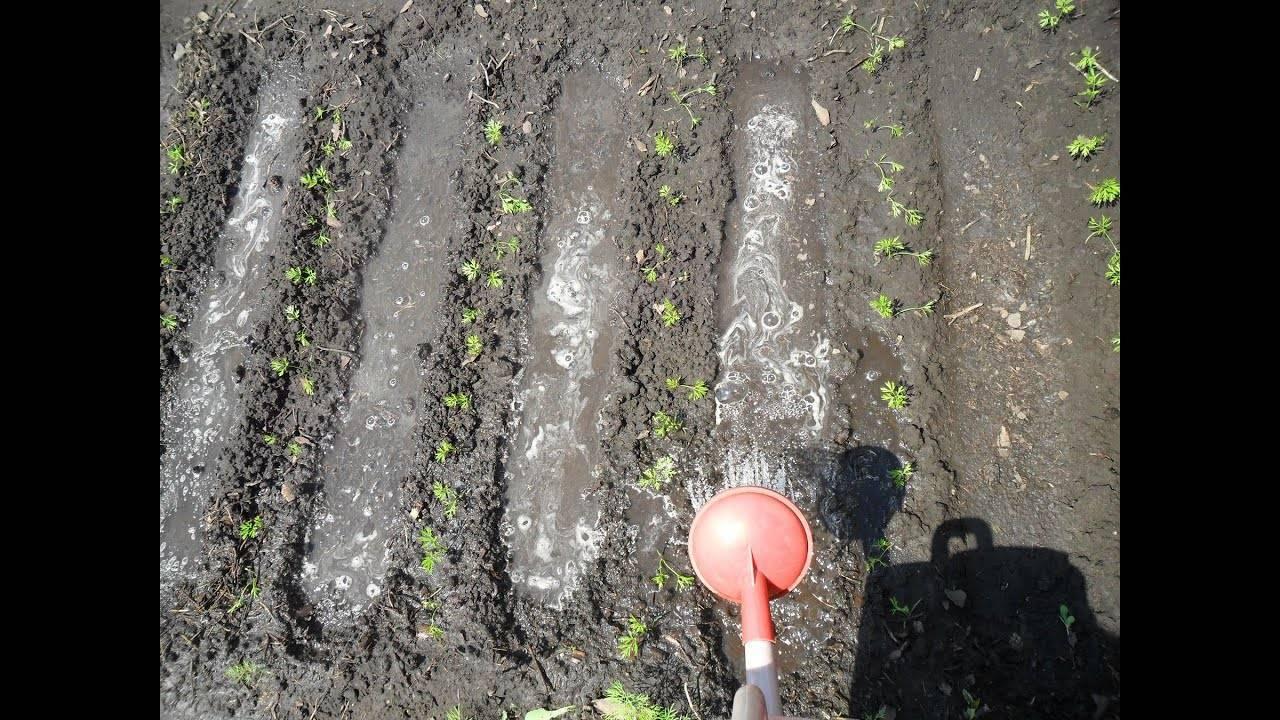 Когда сажать морковь в открытый грунт, как ухаживать, чтобы получить ровные и вкусные корнеплоды