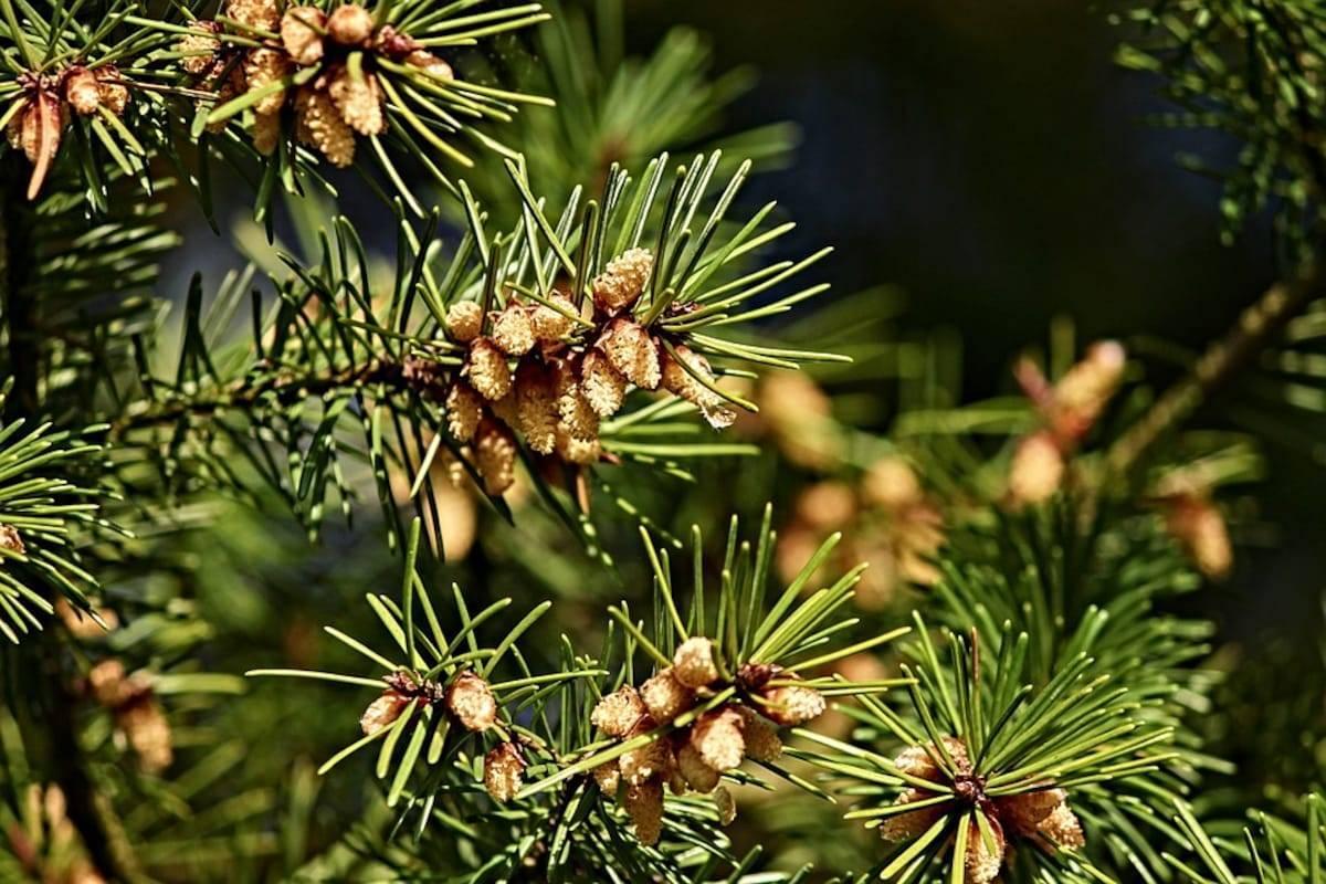 Варенье из сосновых шишек – народное лекарство от кашля