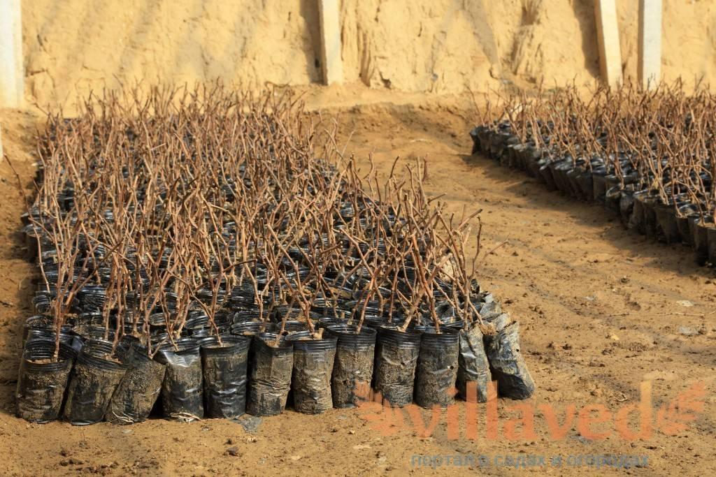 Размножение виноградной лозы - вегетативный способ размножения виноградной лозы