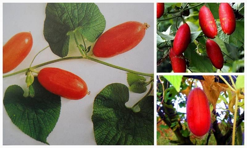 Тладианта красный огурец — выращивание в саду, видео