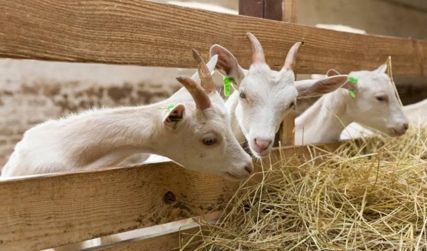 Правильное содержание коз в домашних условиях для начинающих