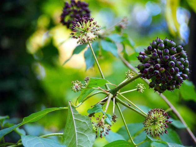 Польза и вред элеутерокка, лечебные рецепты