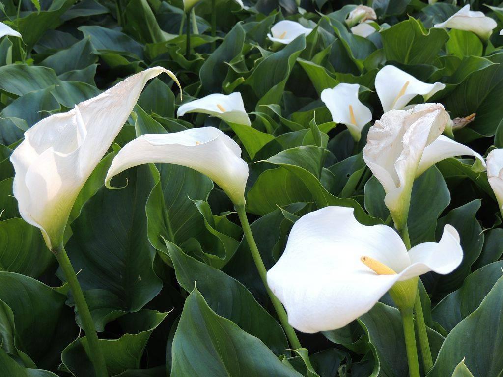Садовые каллы — посадка и уход в открытом грунте