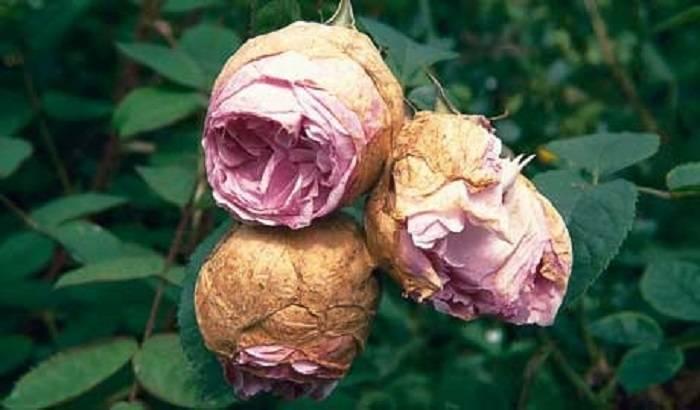 Почему у розы опадают бутоны, – получи ответ на вопрос