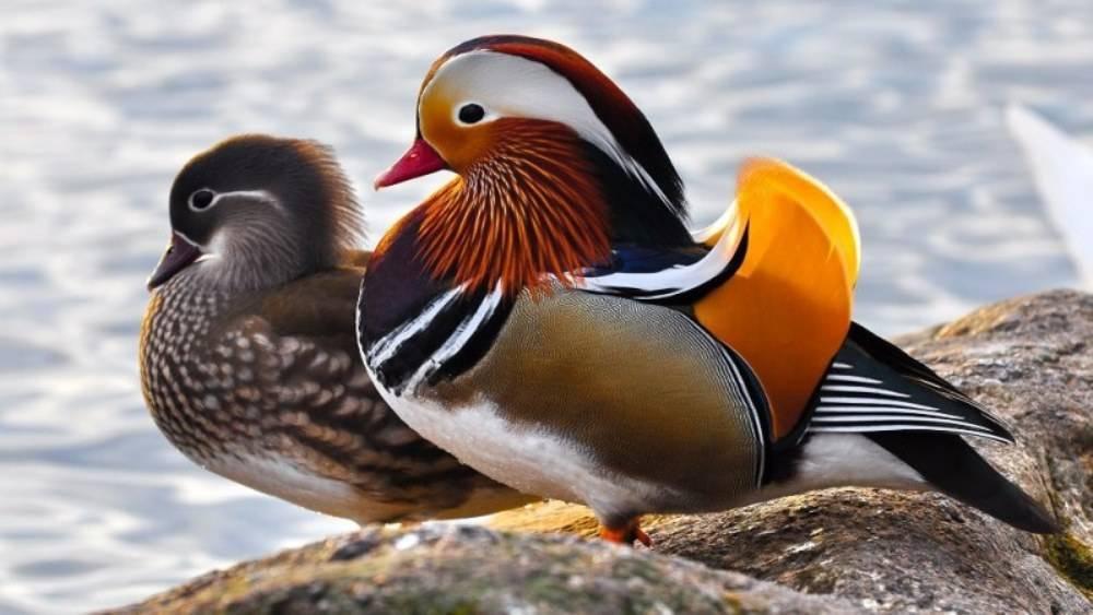 Дикая утка мандаринка