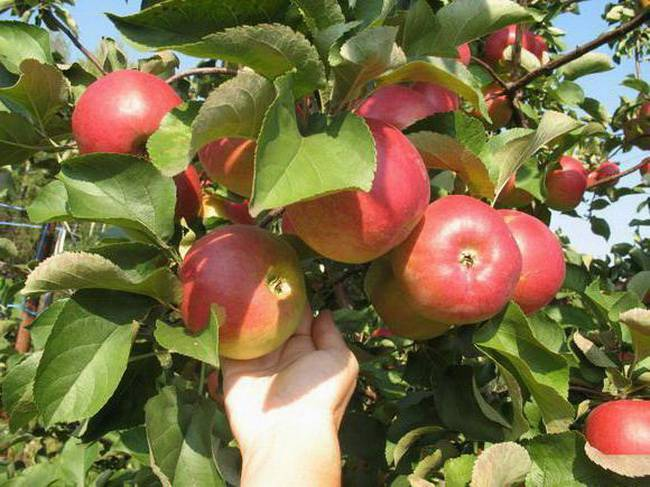 Характеритика и описание яблони «услада»