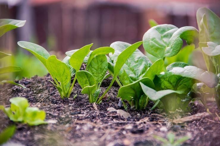 Как вырастить вкусный шпинат дома и в открытом грунте
