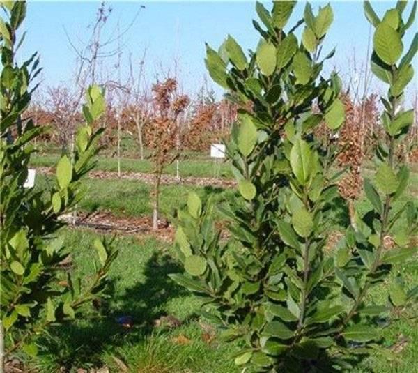Лавровое дерево, выращивание в домашних условиях