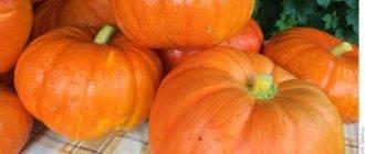 Секреты посадки тыквы в открытый грунт и основы ухода за ней