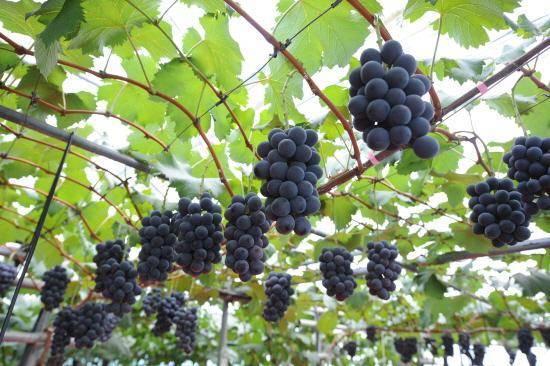 Обзор лучших удобрений и правила подкормки винограда