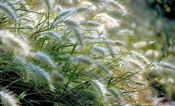Осторожно! декоративные растения, которые быстро могут стать сорняками