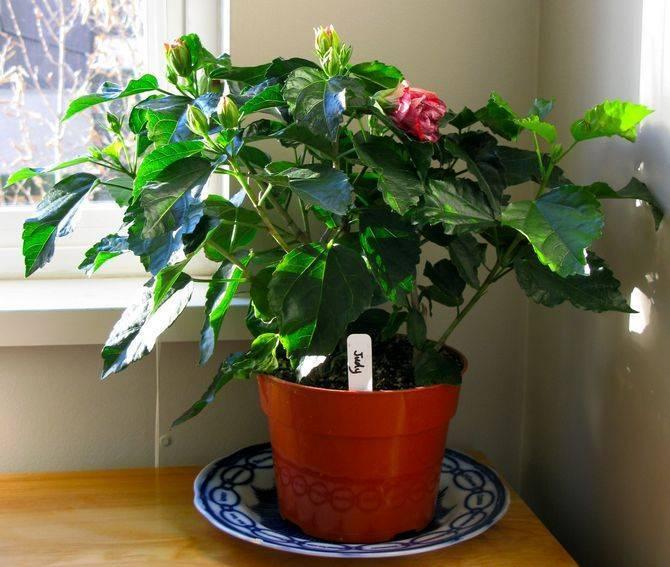 Подробно о том, когда цветет гибискус и сколько это длится. рекомендации по уходу
