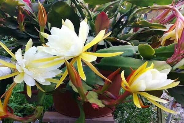 Уход за «кактусом — орхидей» «эпифиллумом» в домашних условиях