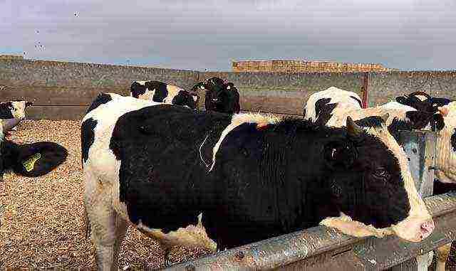 Откорм бычков в домашних условиях, правила выполнения