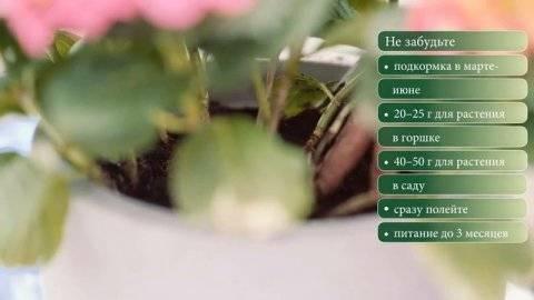 Удобрения для рододендронов — что использовать и как подкармливать