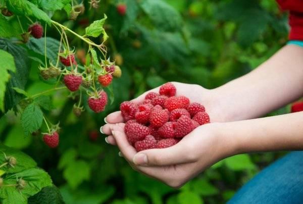 Сладкая ягодка: как сушить клубнику в домашних условиях