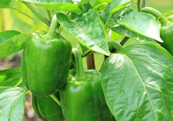 Выращивание перцев в парнике: особенности посадки, режим полива, проблемы при выращивании (110 фото и видео)
