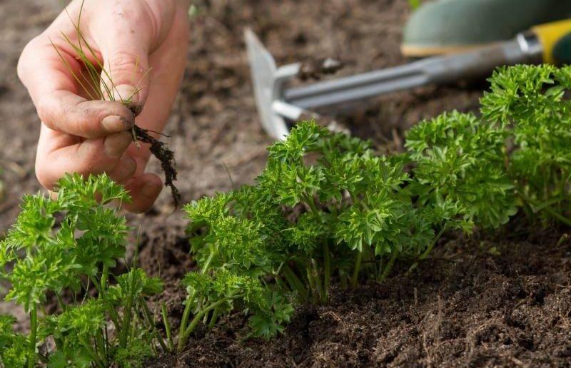 Как получить хороший урожай петрушки? где сажать растение и другие полезные рекомендации