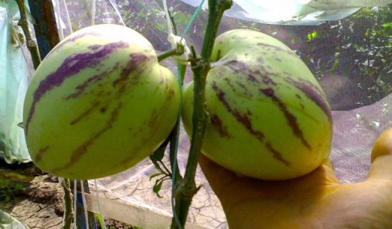 Как вырастить пепино из семян в домашних условиях дынная груша посадка и уход в отрытом грунте