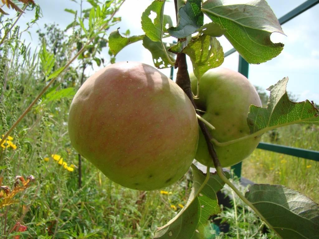 Сортовая яблоня московская грушовка