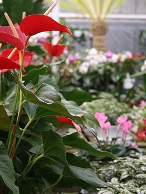 Зеленеют цветы у антуриума. почему это происходит и как устранить возникающие проблемы?