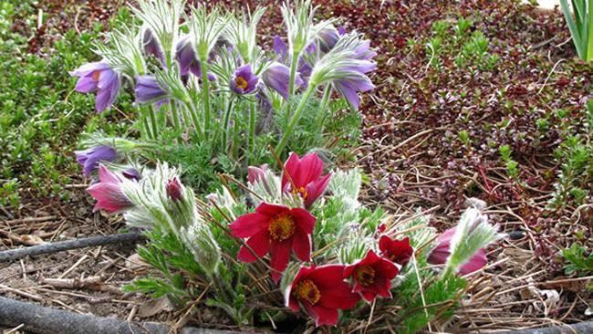 Прострел обыкновенный: лечебные свойства, выращивание из семян, посадка и уход, подготовка к зиме