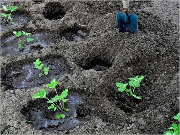 Инструкция, как посадить и выращивать клубнику в агроволокне