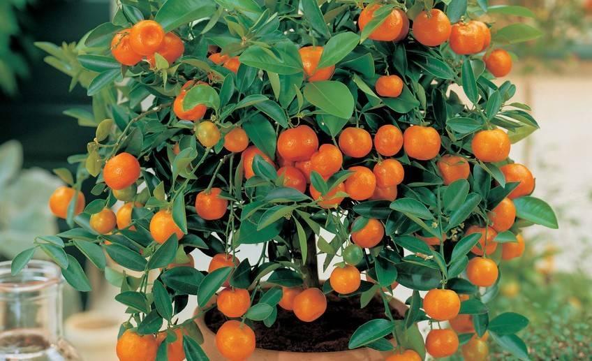 Какие виды цитрусовых можно встретить в продаже и вырастить дома