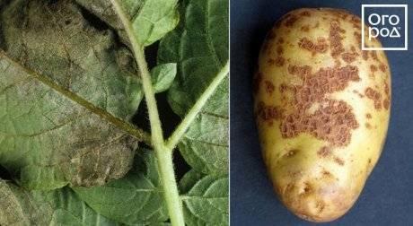 Классификация болезней картофеля: названия, описание и лечение